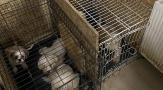 Hayvan işkencehanesine baskın: 68 küçük köpek kurtarıldı